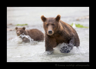 Katmai Brown Bears