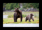 Brown Bear Mom and Cub, Katmai, Alaska