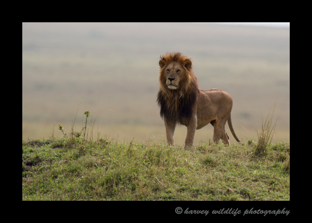 This lion is the leader of the Marsh pride in the Masai Mara. He hears another lion roaring off in the distance. Although his rival is miles away, he quickly perks up and takes attention.