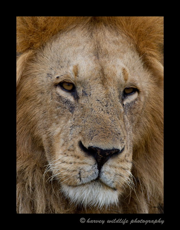 Close up portrait of a male lion.