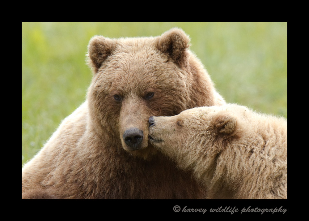 This is a 15 month old brown bear cub and mommy. This is my favourite picture from my Alaskan adventure.