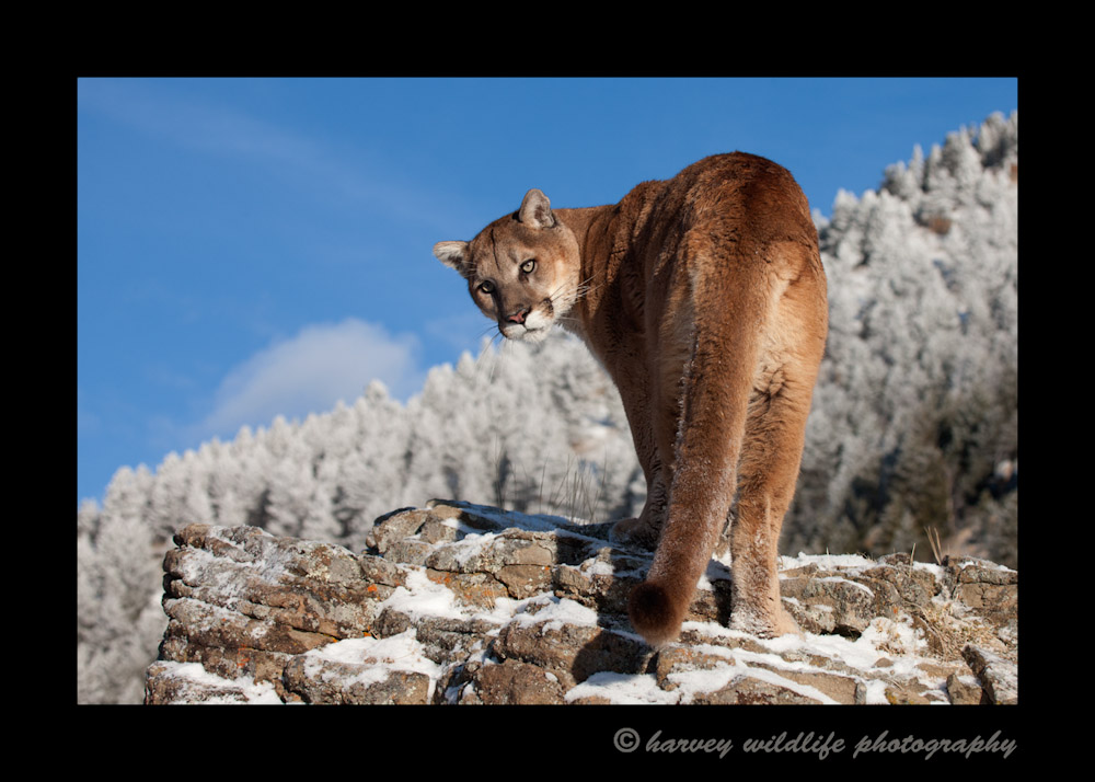 Charlie is a captive puma living in Montana.