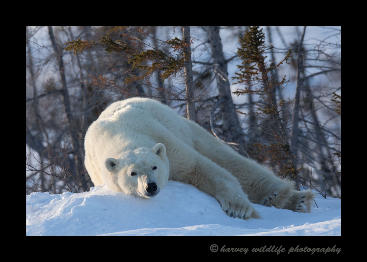 Lazing polar bear in Wapusk National Park.