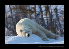 Lazing polar bear in Wapusk National Park.