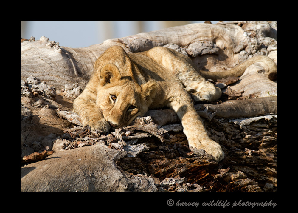 Photo of a juvenile lion lying on a fig tree.