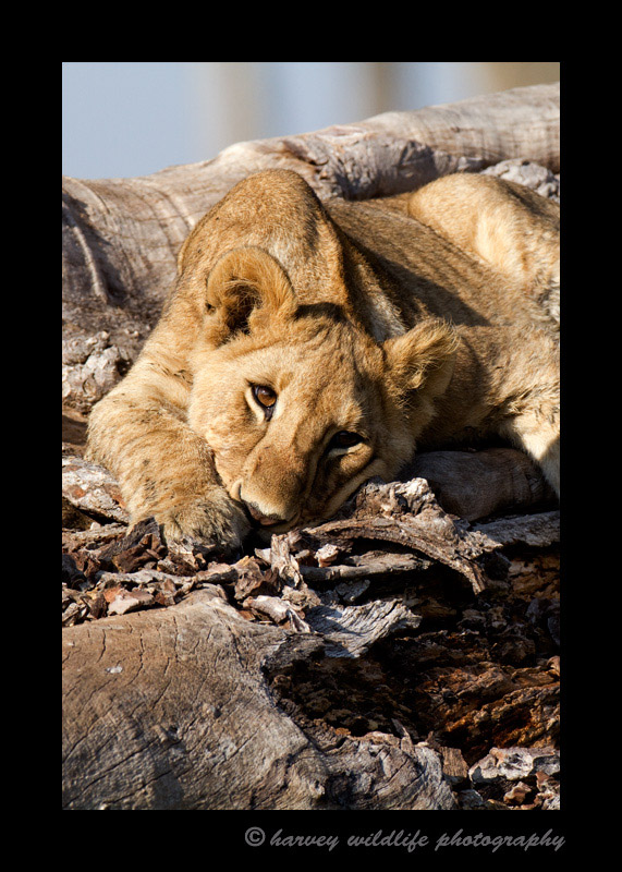 Picture of a lazy lion cub in Masai Mara, Kenya