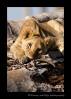 Picture of a lazy lion cub in Masai Mara, Kenya
