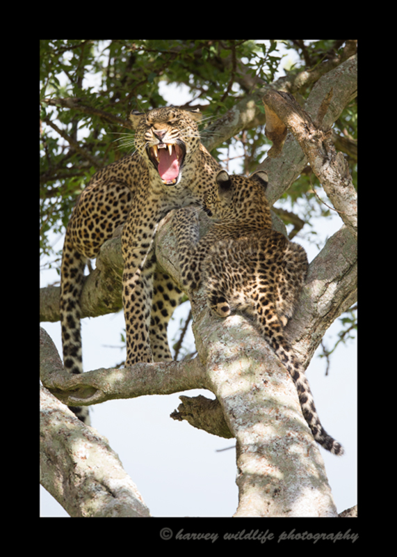 Picture of Bahati yawning, a leopard in the Masai Mara National Park and her male cub.