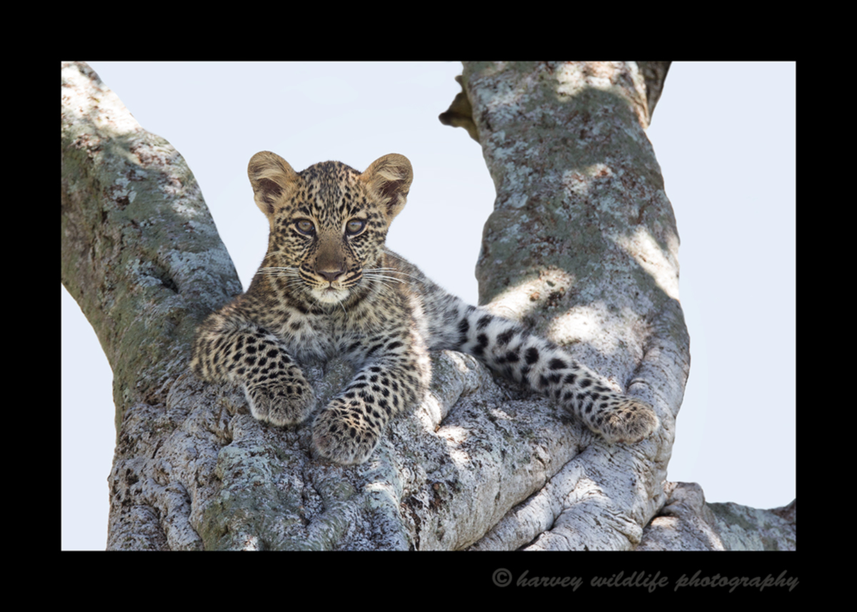 Picture of a leopard cub in a tree in Masai Mara in 2016.