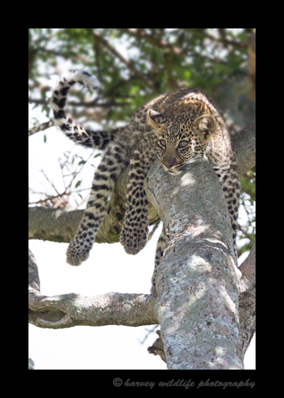 Picture of a leopard cub in the Maasai Mara National Reserve in Kenya.