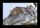 Picture of a leopard cub lying in a tree in the Masai Mara National Park. Photo by Harvey Wildlife Photography.