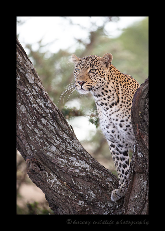 Leopard, Fig, Masai Mara, HW Safaris