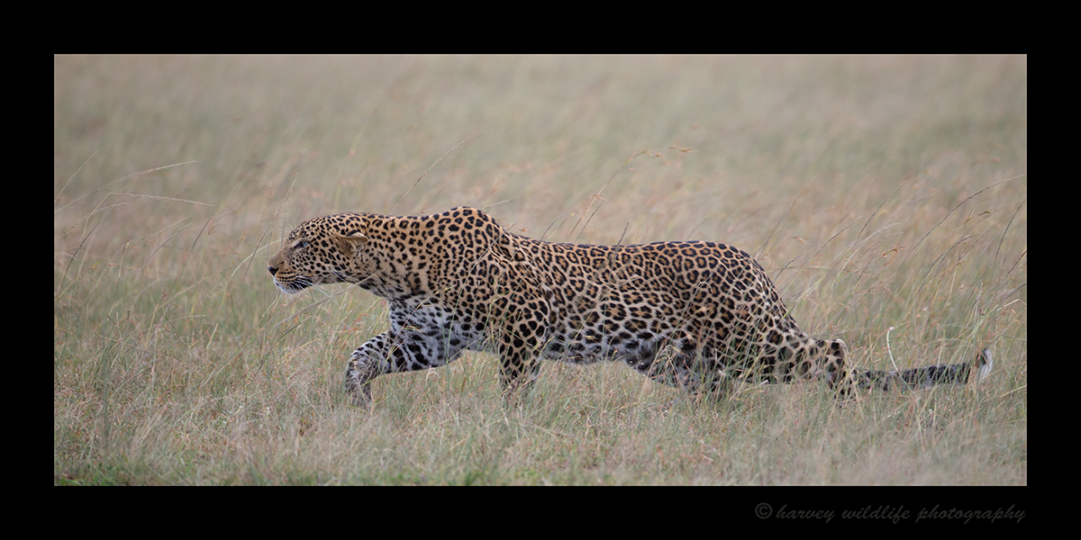 Leopard Hunting Masai Mara, 2018