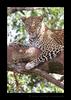 Leopard Kaboso, Masai Mara, HW Safaris
