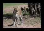 Leopard Kaboso