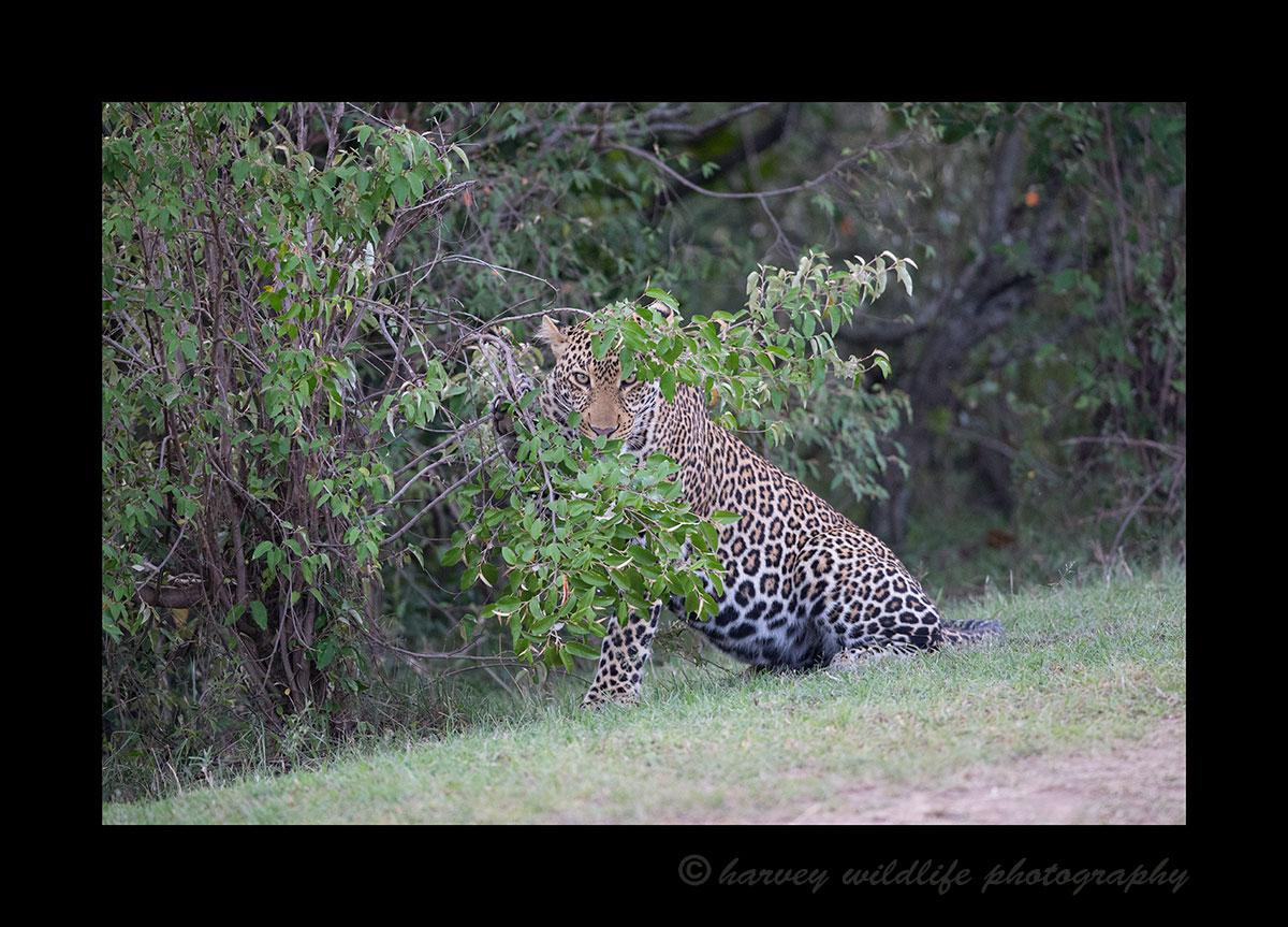 Leopard peeking through leaves