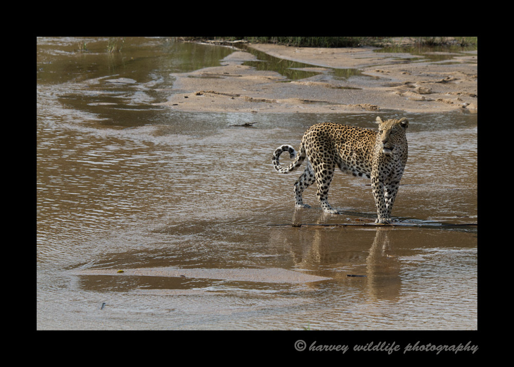Leopard-in-the-river_2660