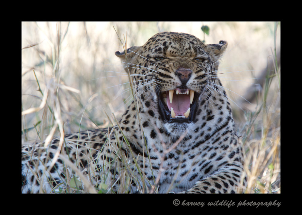 We positioned ourselves to see this leopard (Tamboti female) through the weeds. We didn't realize she had a kill in the tree directly above us. Insult to injury she had a gaping wound on her hip, so she was not in a good mood and certainly didn't want to share her hard earned meal. Insult to insult to injury, we got stuck beneath that tree so we had to call for help to get us towed out twenty feet from an angry leopard. 