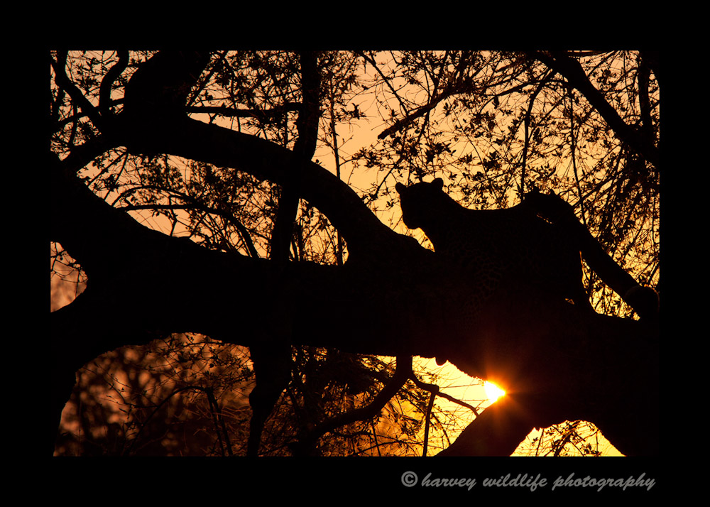 On our first game drive in South Africa we saw this leopard just before the sun started to set. I've always wanted to get a leopard silhouette picture and this was my first reasonable crack at it.