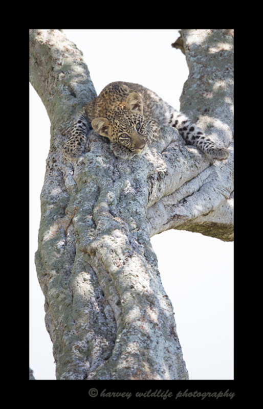 Picture of a four month old leopard cub lying in an acacia tree in the Masai Mara National Reserve in Kenya.