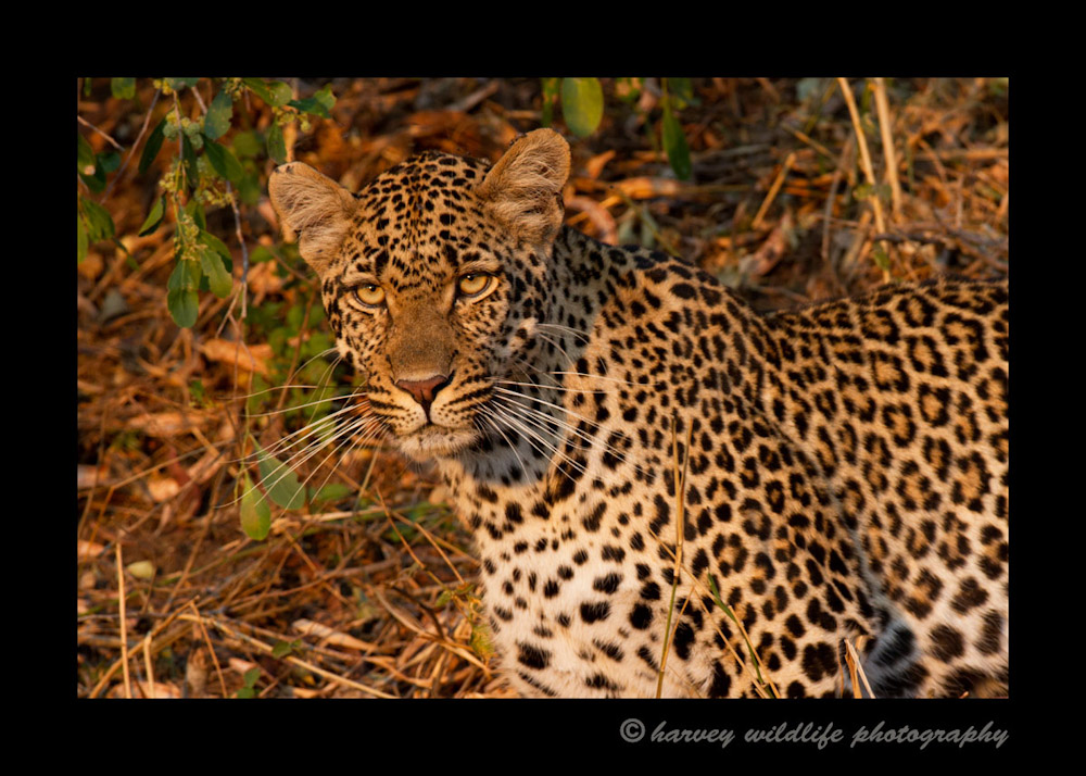 On our first game drive we hadn't seen a leopard until the end of the drive. The sun was setting. I only managed to get a few pictures of her and of those few pictures, I lucked out with this one in the soft evening light.