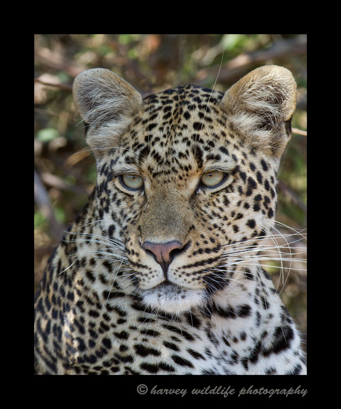 Picture of a female leopard in South Africa