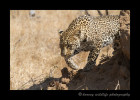 Leopard_Stalk_0183