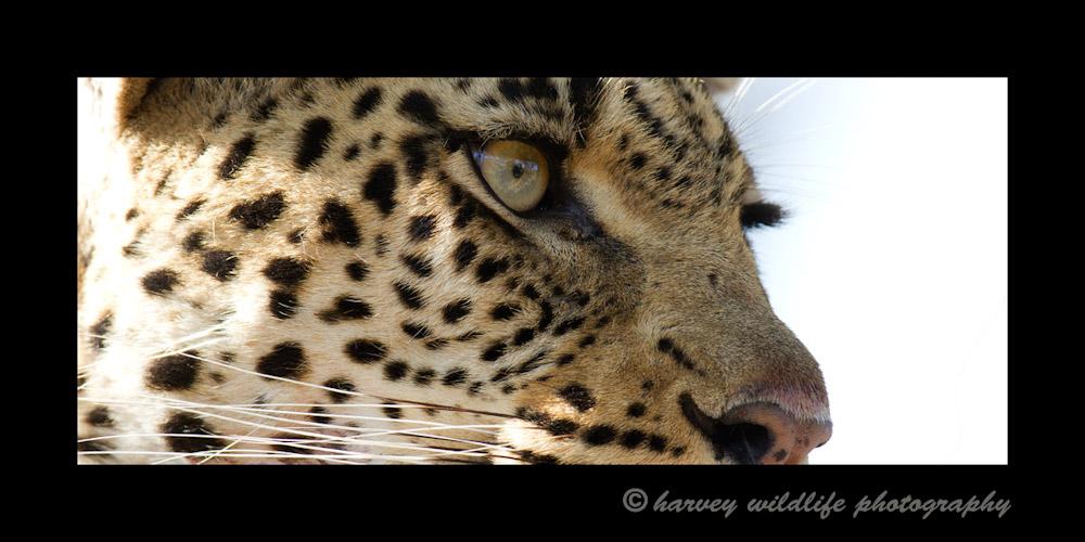 Leopard_eyes