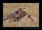 Picture of lion brothers in the Masai Mara.