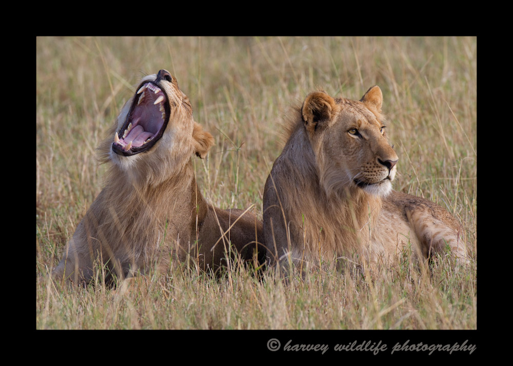 These males are about four years old. They are kind of lion purgatory. They were kicked out of the Marsh pride, so they are too old for their old pride and yet too young to take over a pride of their own.