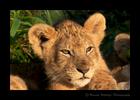 Lion-Cub-2019