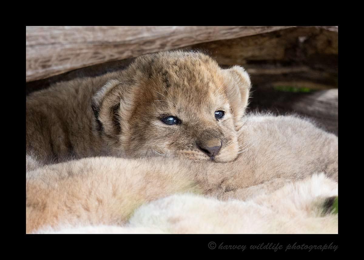 Lion Cub, Masai Mara 3 Weeks Old