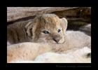 Lion Cub, Masai Mara 3 Weeks Old