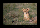 Lion Cub Watching Hot Air Balloons