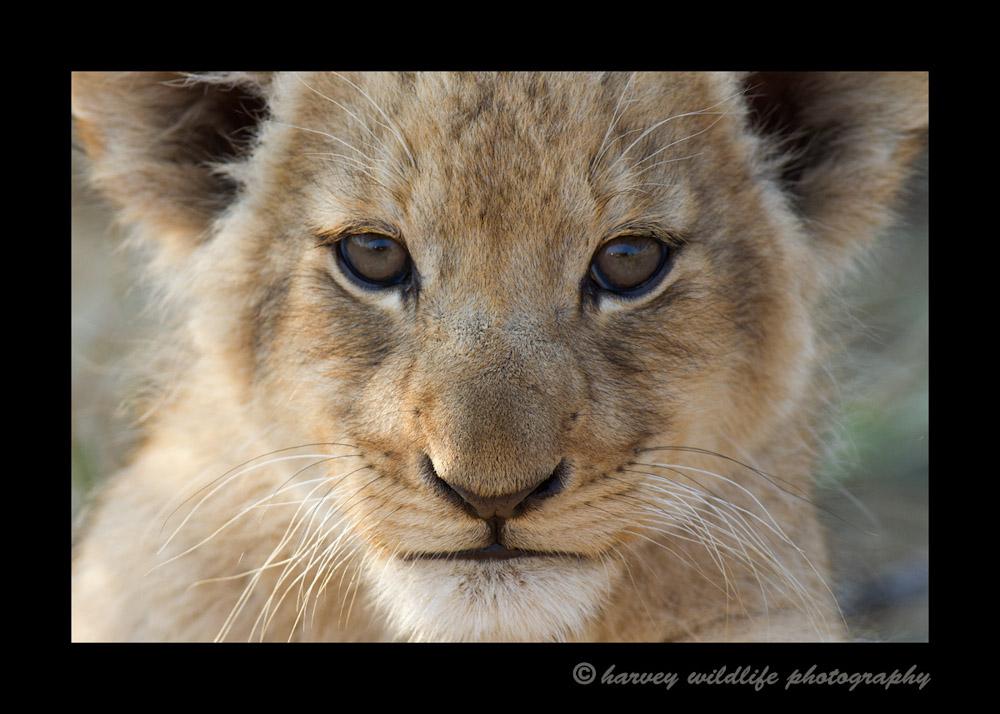 Lion-Cub-IMG_1928