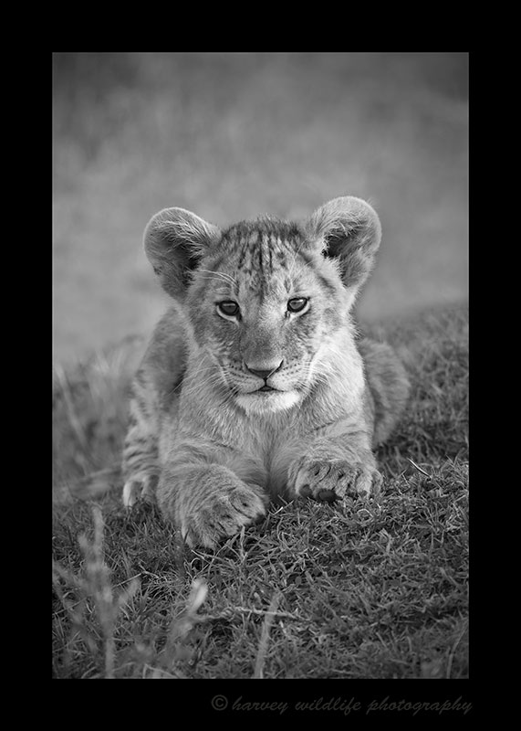 Lion Cub Portrait in Black and White