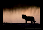 Picture of a lion cub silhouette against the river in the Masai Mara National Park in Kenya.