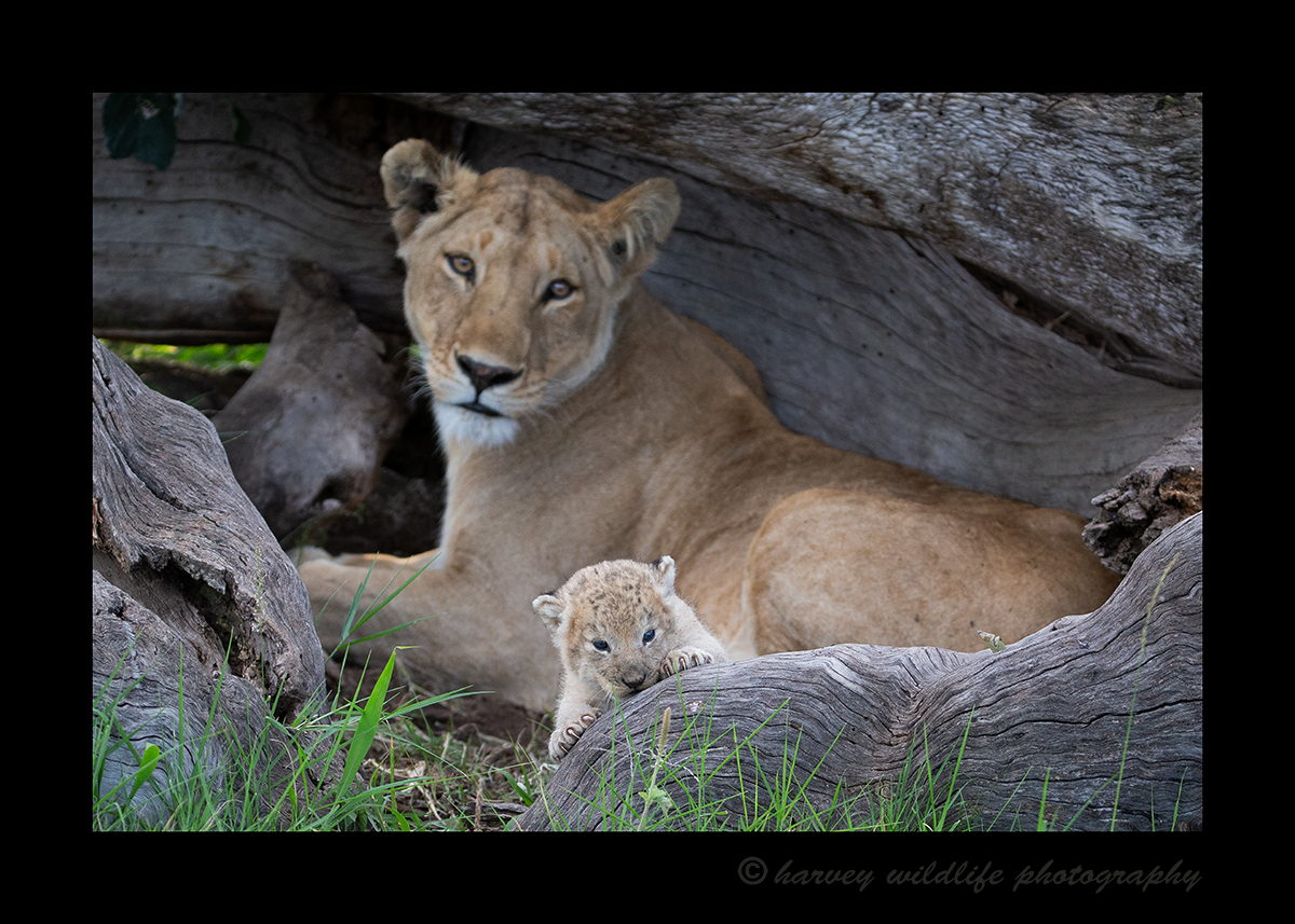 Lion Cub two weeks old