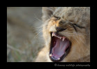 Lion-Cub-Yawn-IMG_1921
