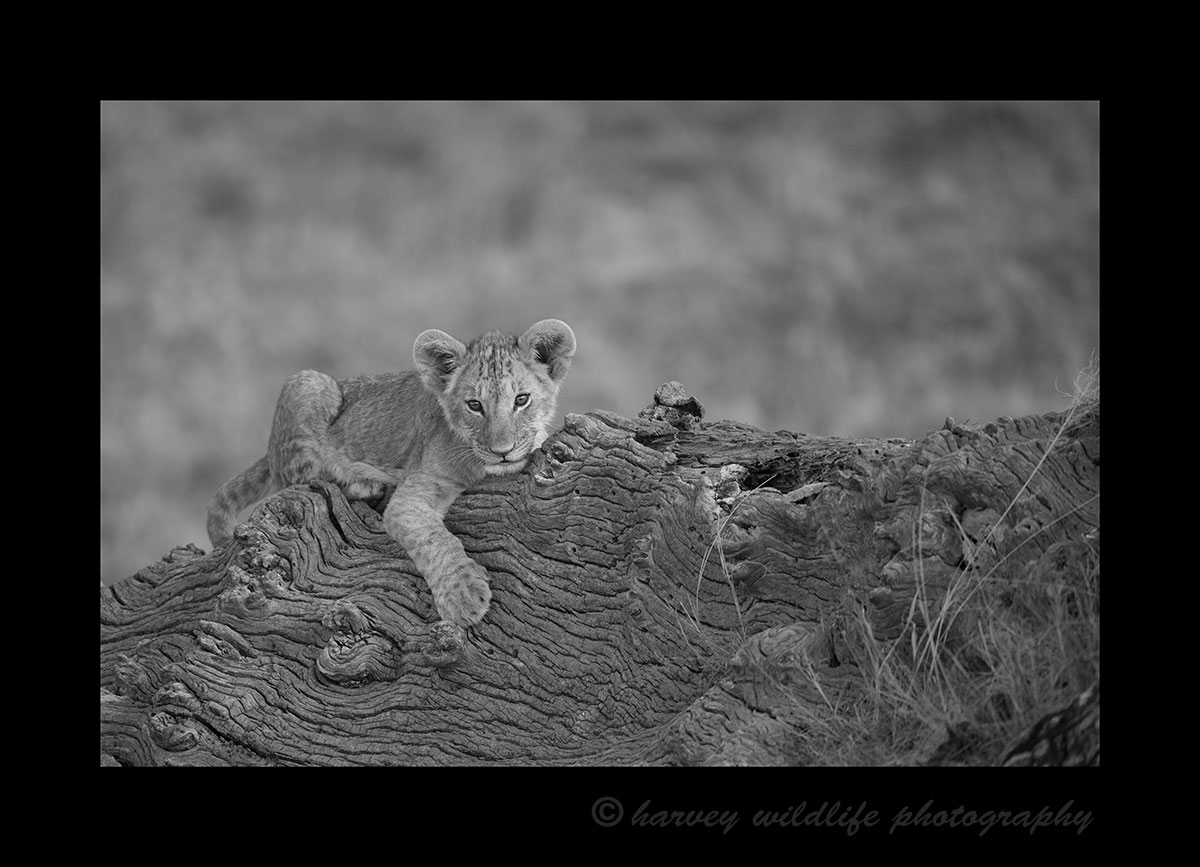 Lion Cub on Fig Tree