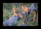 Lion Cubs Playing on a Log