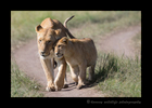 Picture of a lion cub hugging his lioness mother in the Masai Mara National Park in Kenya.