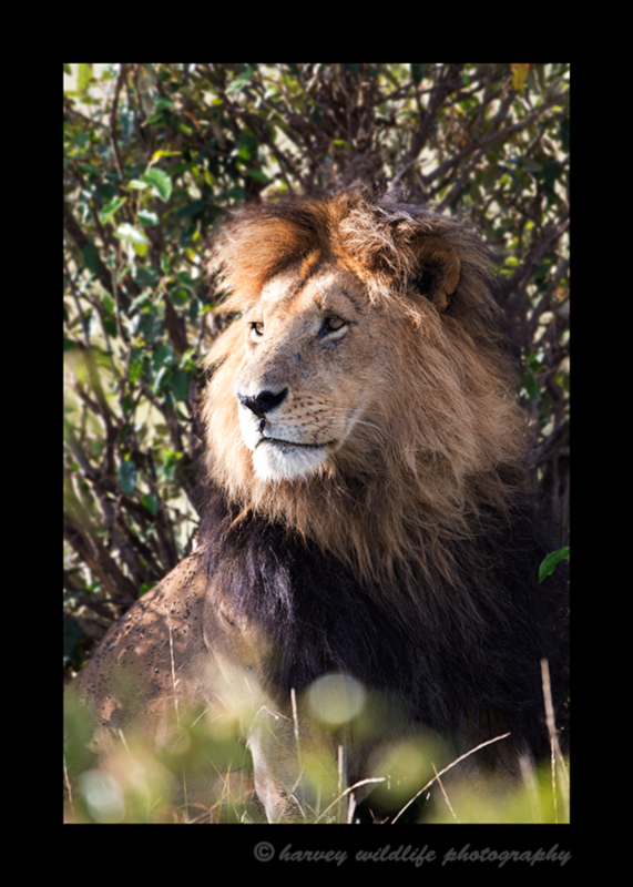 This image is of a male lion named Blackie in Kenya's National Park, Masai Mara. You can tell this is Blackie due to the bump under his nose.