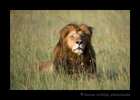 Picture of a lion in the Masai Mara in Kenya. Photo by Harvey Wildlife Photography.
