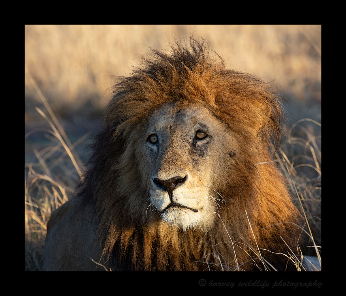 Male Lion, Masai Mara, HW Photo & Safaris