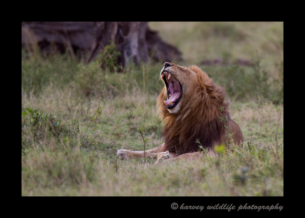 This king of the Marsh pride lets out a huge yawn.