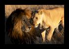 Lion-_-LIoness