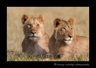 Lion brothers in Masai Mara, Kenya.