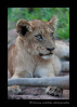 Lion cub and mom relaxing in the afternoon.
