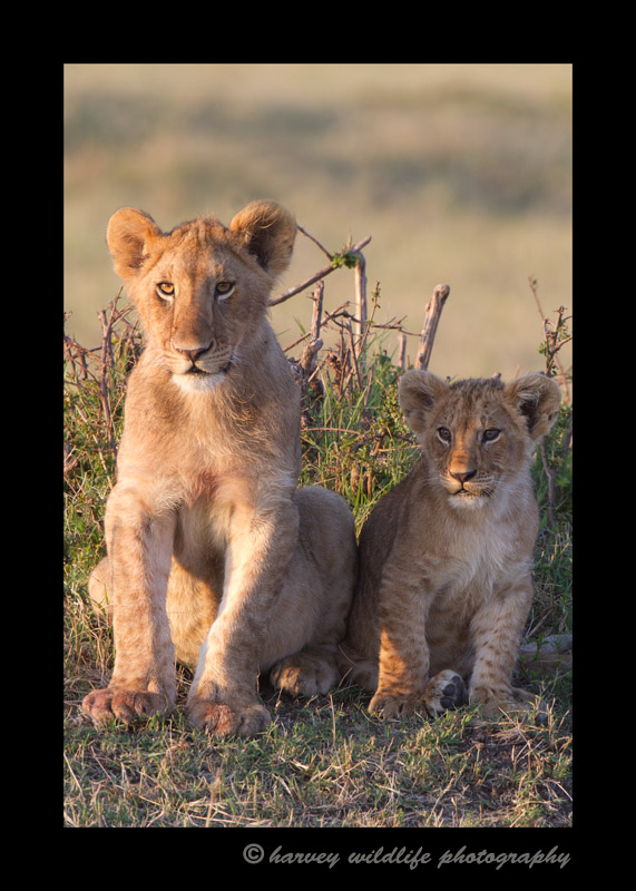 These lion cubs were sitting together as if someone propped them up.